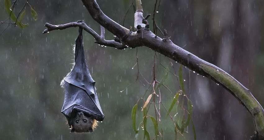 شایعه ای که جان خفاش ها را تهدید می کند