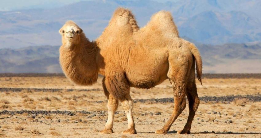 جشنواره شتر دوکوهانه در بیله سوار برگزار می شود
