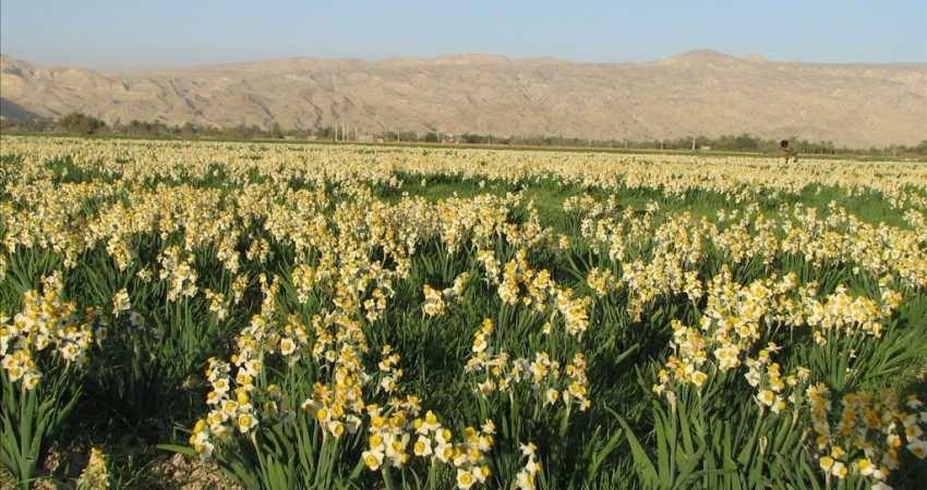 نرگس زارهای استان فارس ثبت ملی می شود