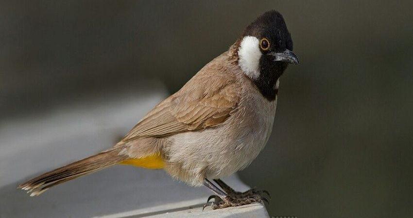 کشف ۳۰۰ پرنده زینتی از دو قاچاقچی در آبادان