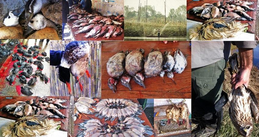پرندگان مهاجر در فریدونکنار و سرخرود سلاخی می شوند