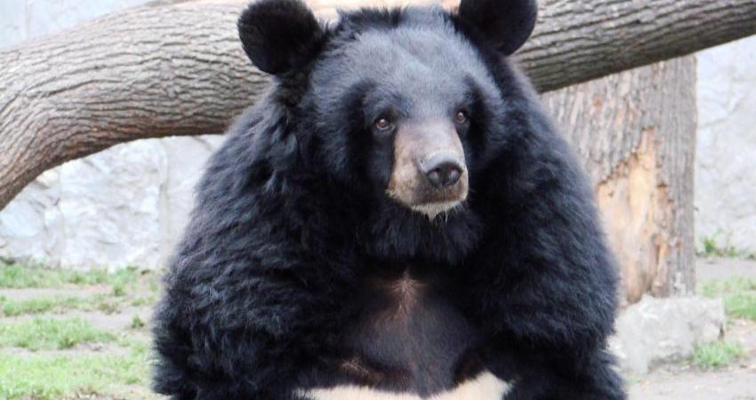 زیستگاه خرس سیاه آسیایی ثبت می شود