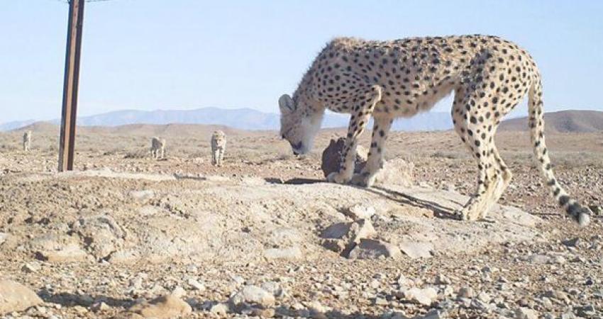 ثبت تصاویری از یک یوزپلنگ ماده به همراه 3 توله اش در میاندشت