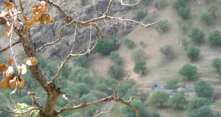 خشکیدگی بلوط جنگل های زاگرسی در 1/4 میلیون هکتار