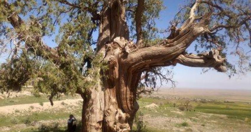 سرو کهنسال استند در فهرست میراث طبیعی ملی ثبت شد