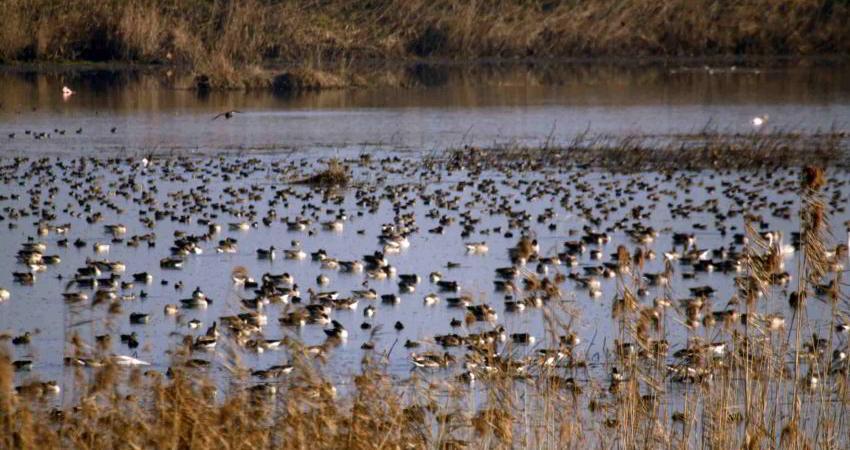جمع آوری ماکت های اردک در رودسر