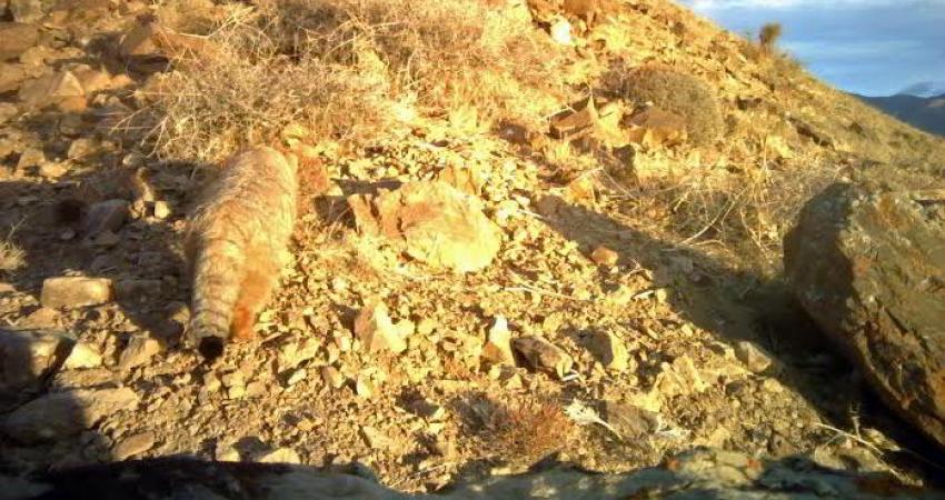 عکس برداری از یک گربه پالاس در پارک ملی ساریگل