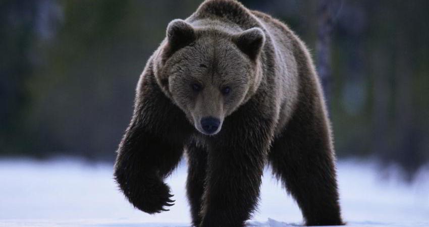 بیمه دانا به کمک خرس سیاه بلوچی می آید؟