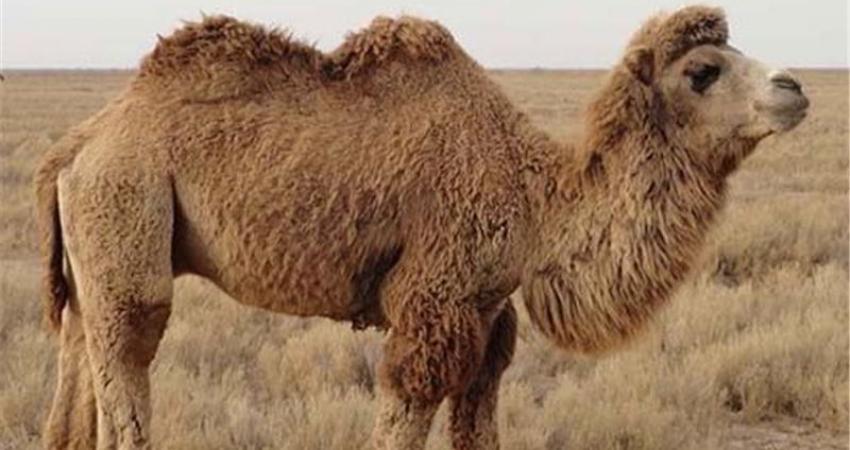 ورود شترهای دوکوهانه از مغولستان به ایران